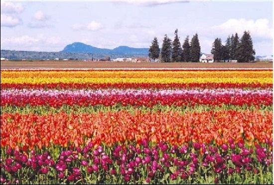netherlands-tulips- (4)