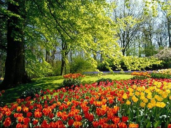 netherlands-tulips- (6)