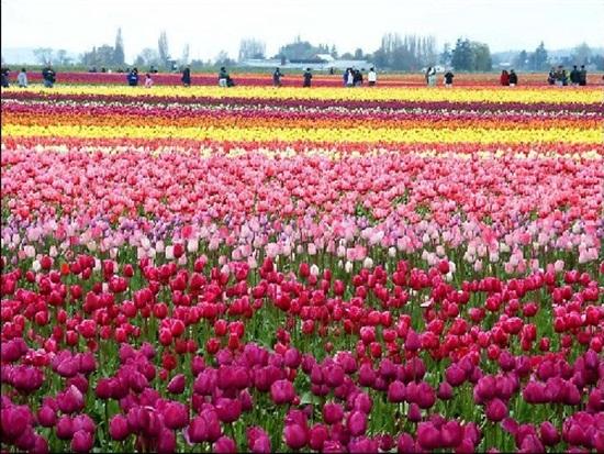 netherlands-tulips- (7)