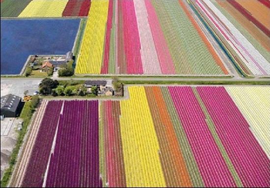 netherlands-tulips- (10)