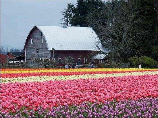 netherlands-tulips- (13)