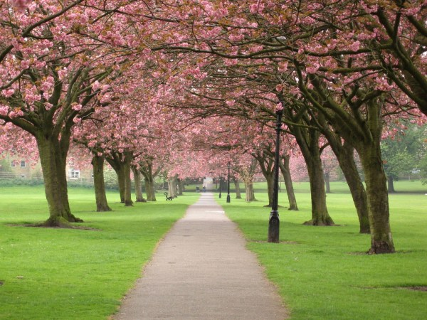 cherry-blossom-wallpaper-16-photos- (11)