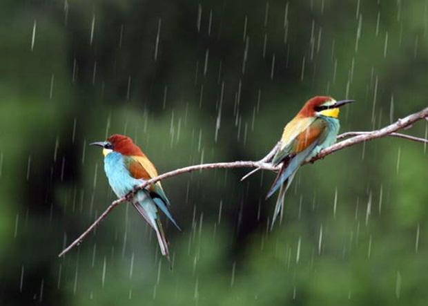 birds-in-rain- (13)