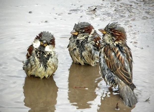 birds-in-rain- (21)