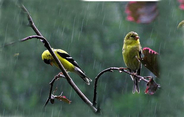 birds-in-rain- (5)