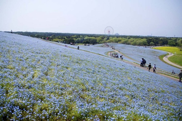 hitachi-seaside-park-japan-24-photos- (4)