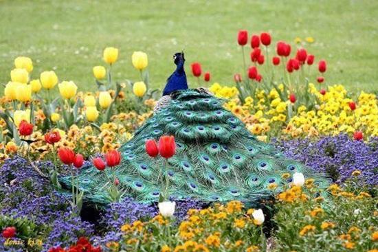 peacock-photos- (15)