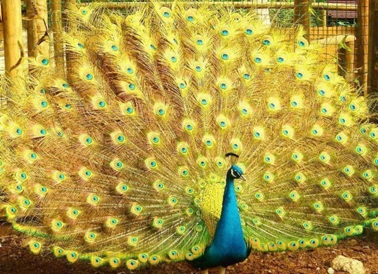 peacock-photos- (6)