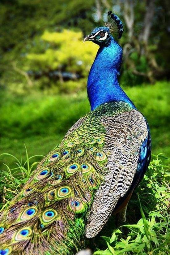 peacock-photos- (9)
