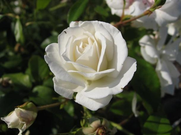 best-roses-26-photos- (13)
