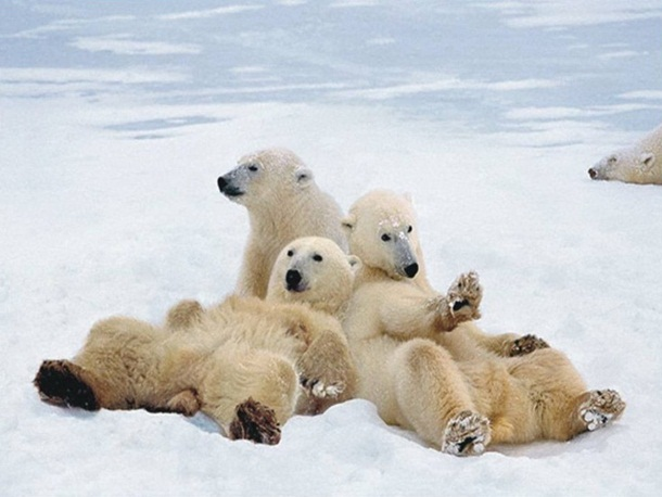 polar-bear-photos- (5)