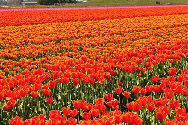field-of-flowers- (11)