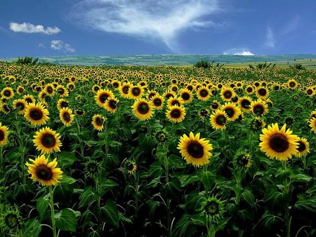 field-of-flowers- (9)