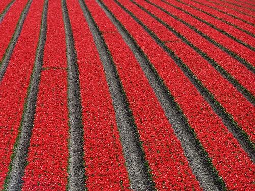 colorful-tulip- (13)