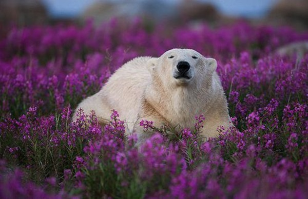 polar-bear-pictures- (1)