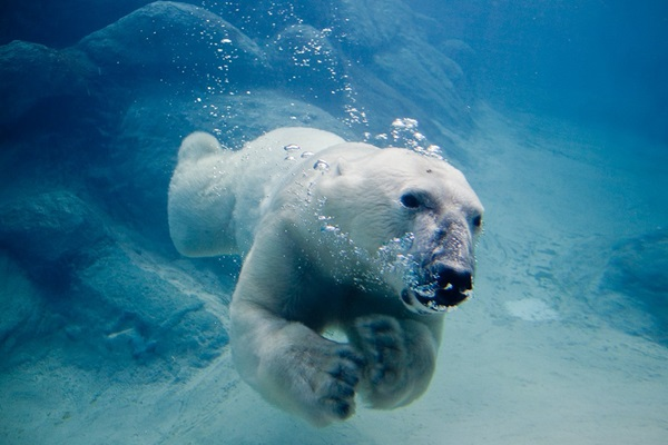 polar-bear-pictures- (15)