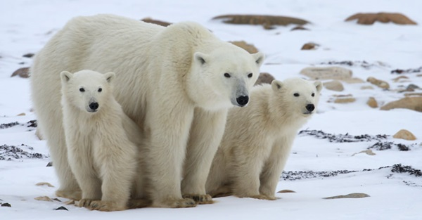 polar-bear-pictures- (5)