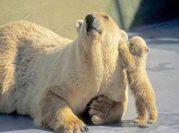 polar-bear-pictures- (9)
