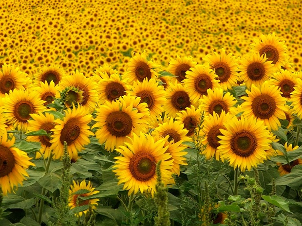 sunflower-photos- (1)