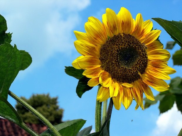 sunflower-photos- (19)