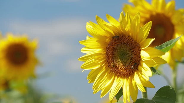 sunflower-photos- (21)