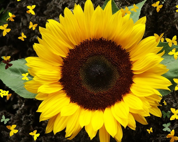 sunflower-photos- (22)