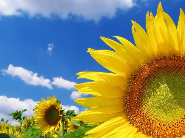 sunflower-photos- (23)
