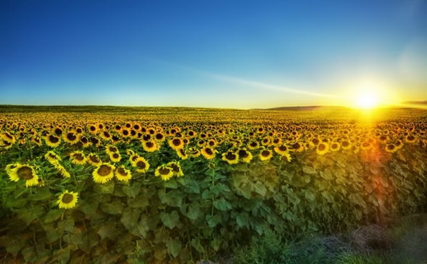 sunflower-photos- (24)