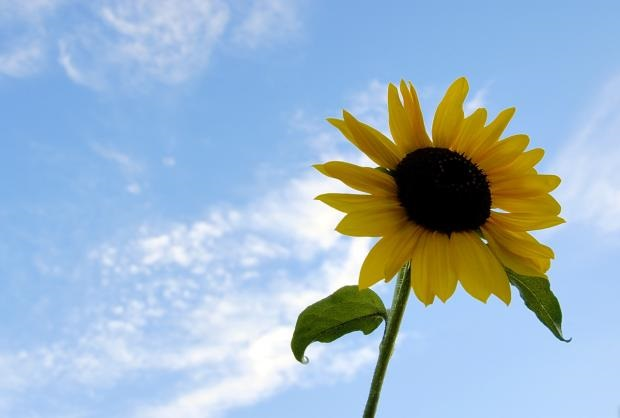 sunflower-photos- (5)