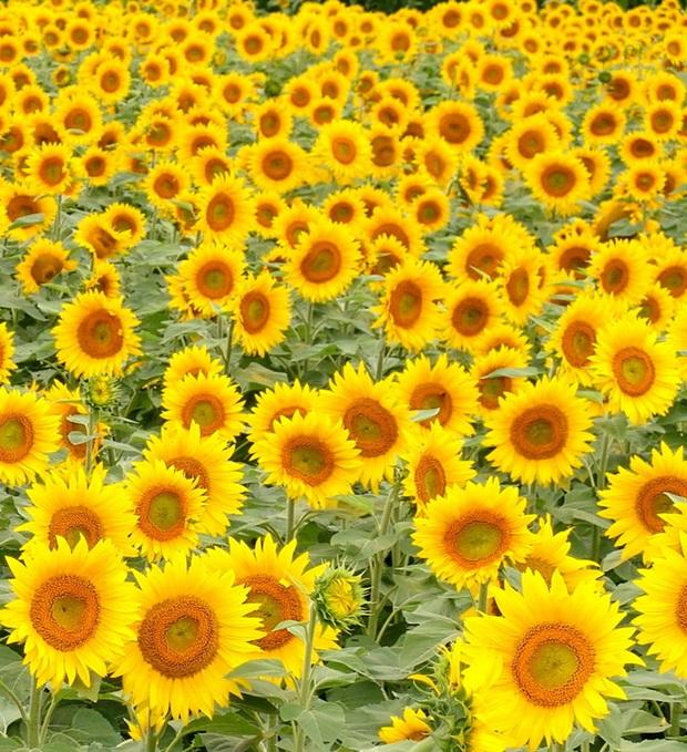 sunflower-photos- (6)