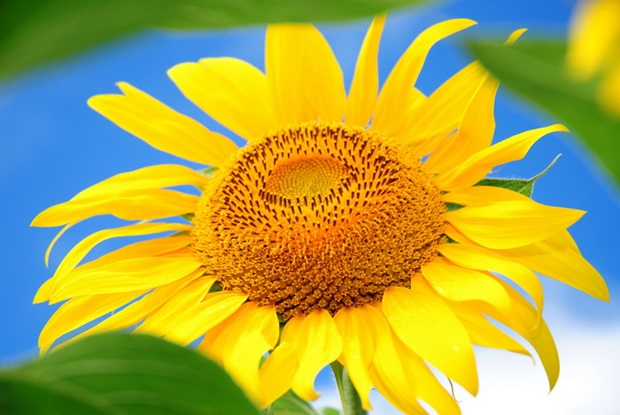 sunflower-photos- (8)
