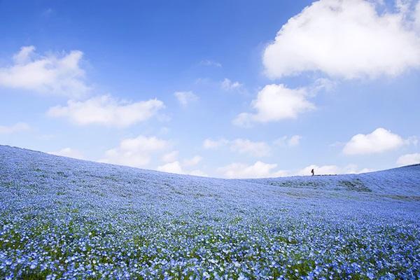 baby-blue-eyes-nemophila-hitachi-seaside-park- (11)