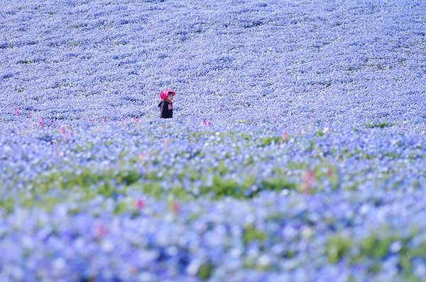 baby-blue-eyes-nemophila-hitachi-seaside-park- (3)