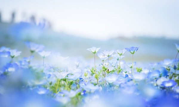baby-blue-eyes-nemophila-hitachi-seaside-park- (5)