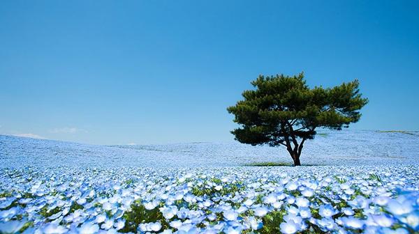 baby-blue-eyes-nemophila-hitachi-seaside-park- (8)