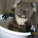 Koala Bear cools off in tub