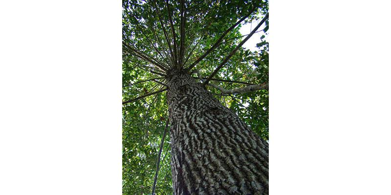 Brasil Tem A Maior Biodiversidade De árvores Do Mundo; Das 8 Mil Espécies Encontradas No País, Mais De 2 Mil Estão Ameaçadas