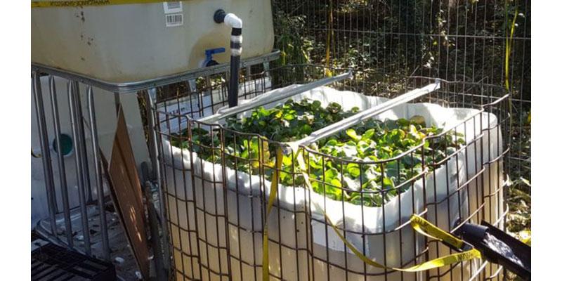 Aguapé, A 'praga Verde' Brasileira Que é Promessa De Solução Para Rios Poluídos E Produção De Combustíveis