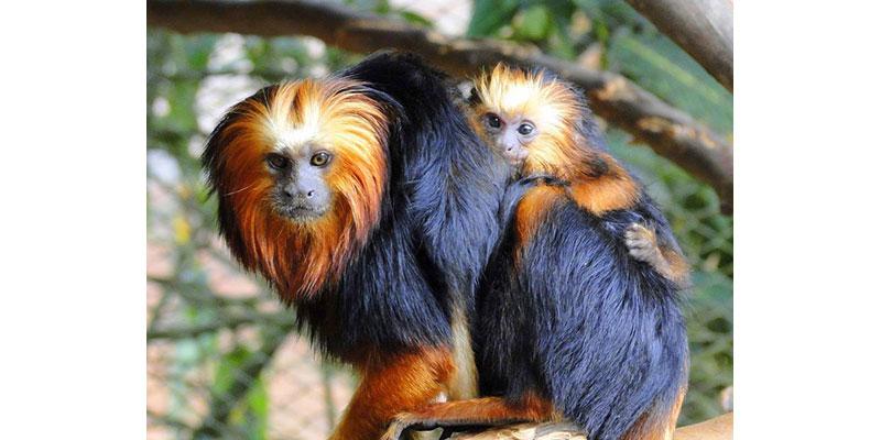 Quase 40% Dos Primatas Brasileiros Estão Sob Ameaça De Extinção
