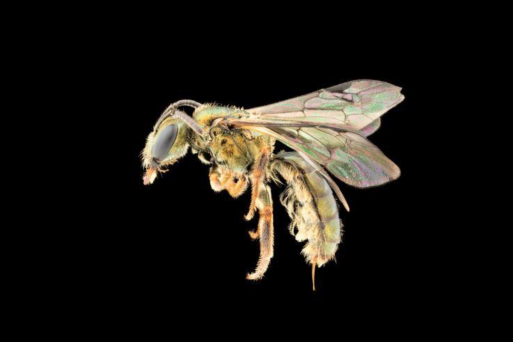 Novas Espécies De Abelhas Descobertas E Já Correm O Risco De Extinção