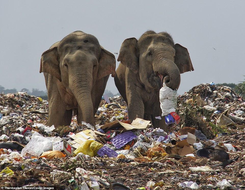 Elefantes No Lixão