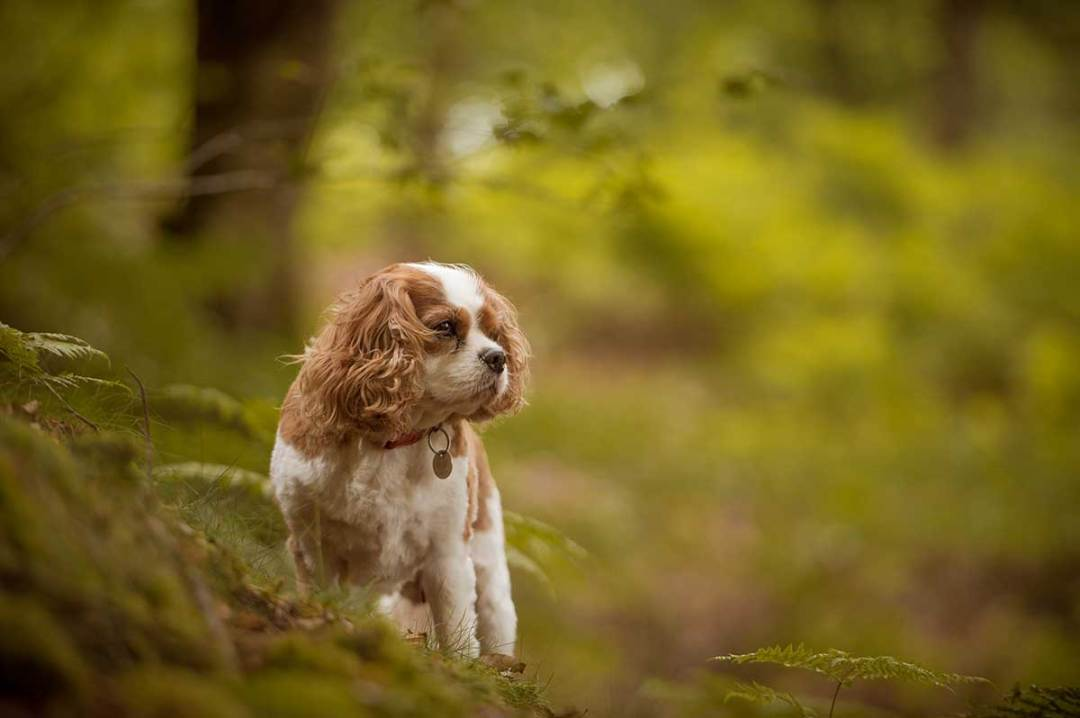 Photograph of a King Charles cavalier in the woods