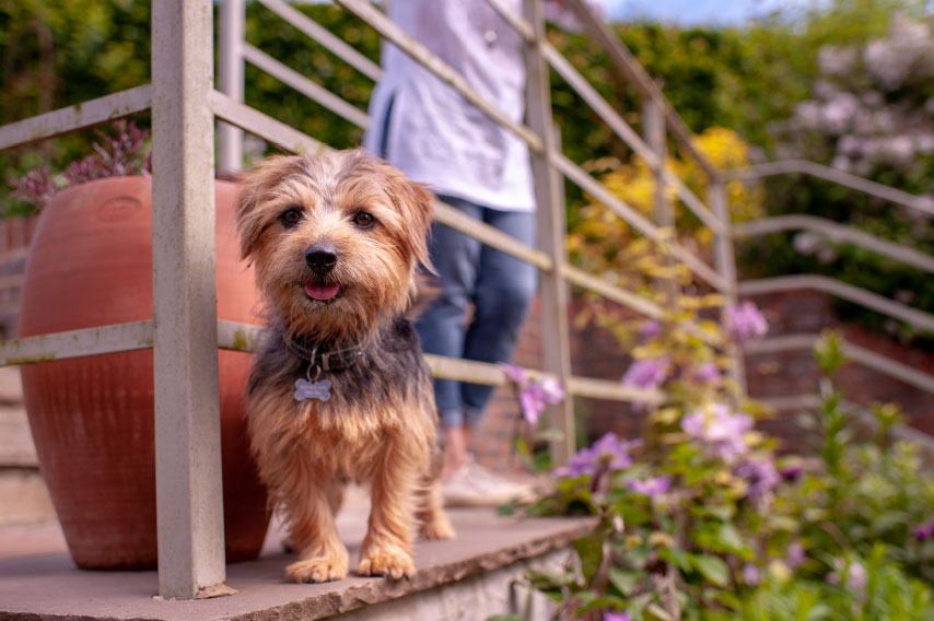 Norfolk Terrier peering through a metal fence with a person standing behind.