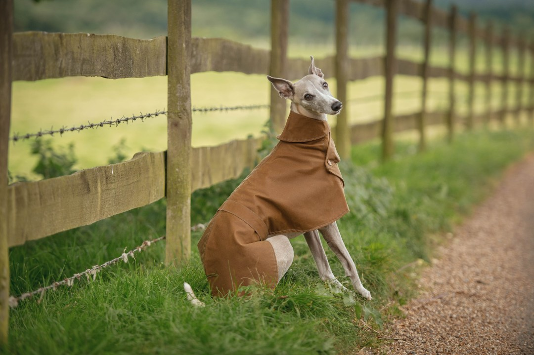 Whippet wearing a waterproof wax coat sat next to a fence.