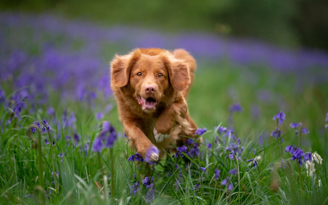 Duck Toller in the Bluebells