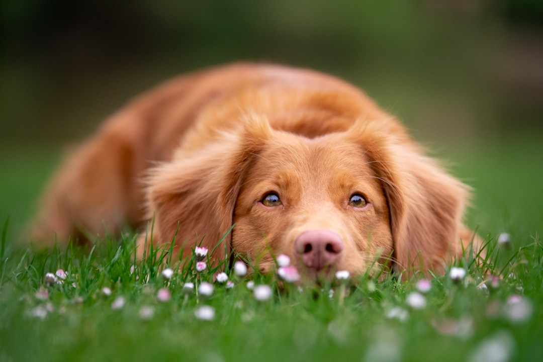 Nova Scotia duck toller lying down in the grass which has lots of daisies
