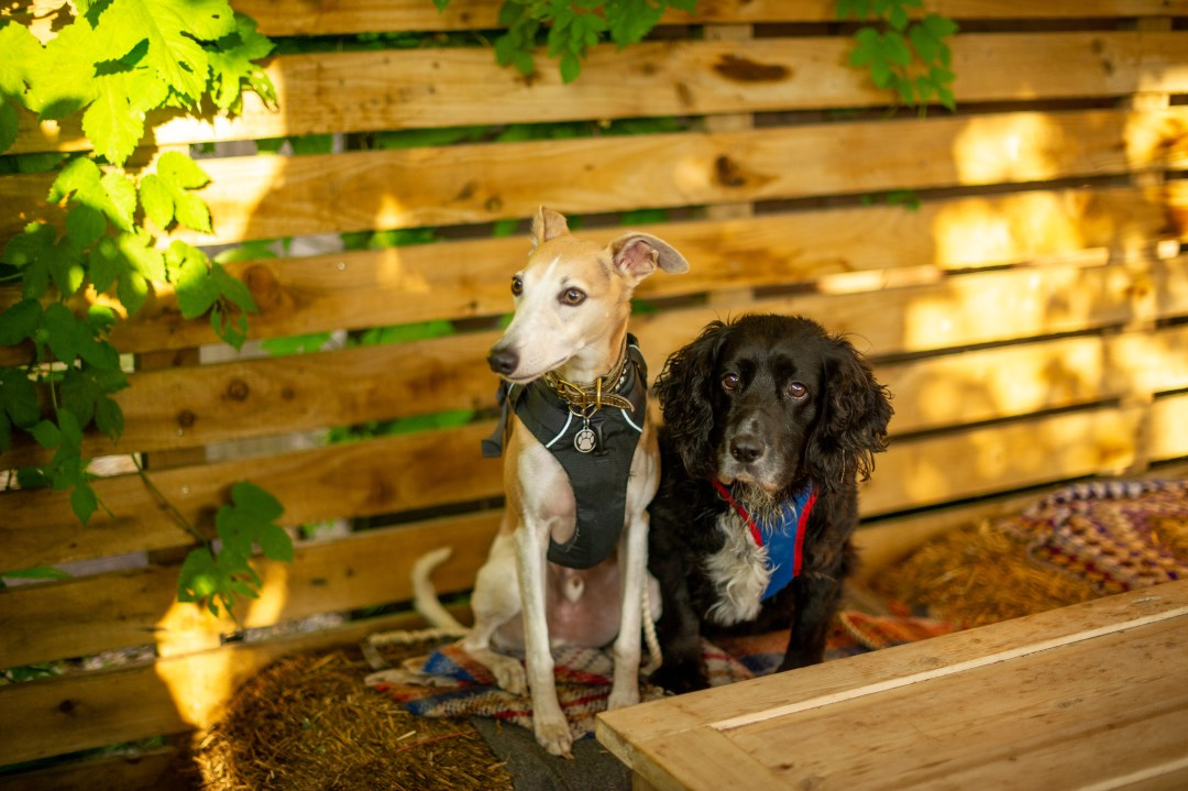 A whippet and a spaniel sat on a haybale at a dog friendly bar