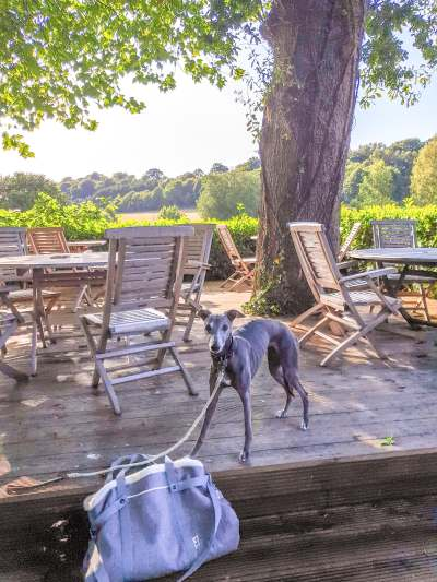 Whippet standing on a patio of a pub garden with countryside views