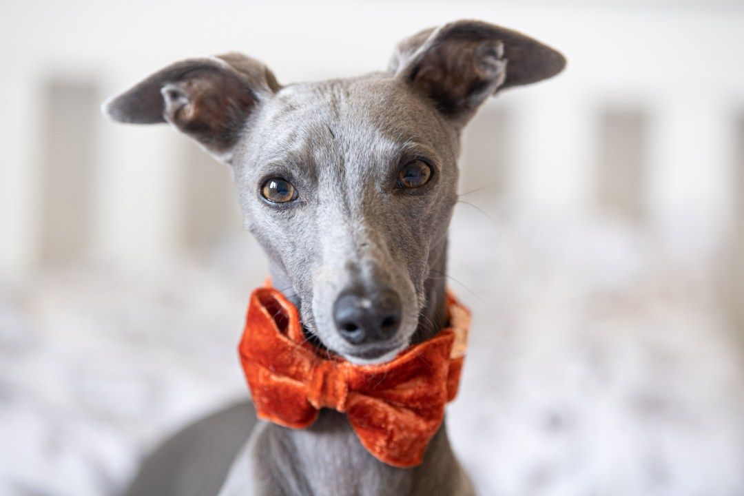 Blue whippet in an orange bow tie