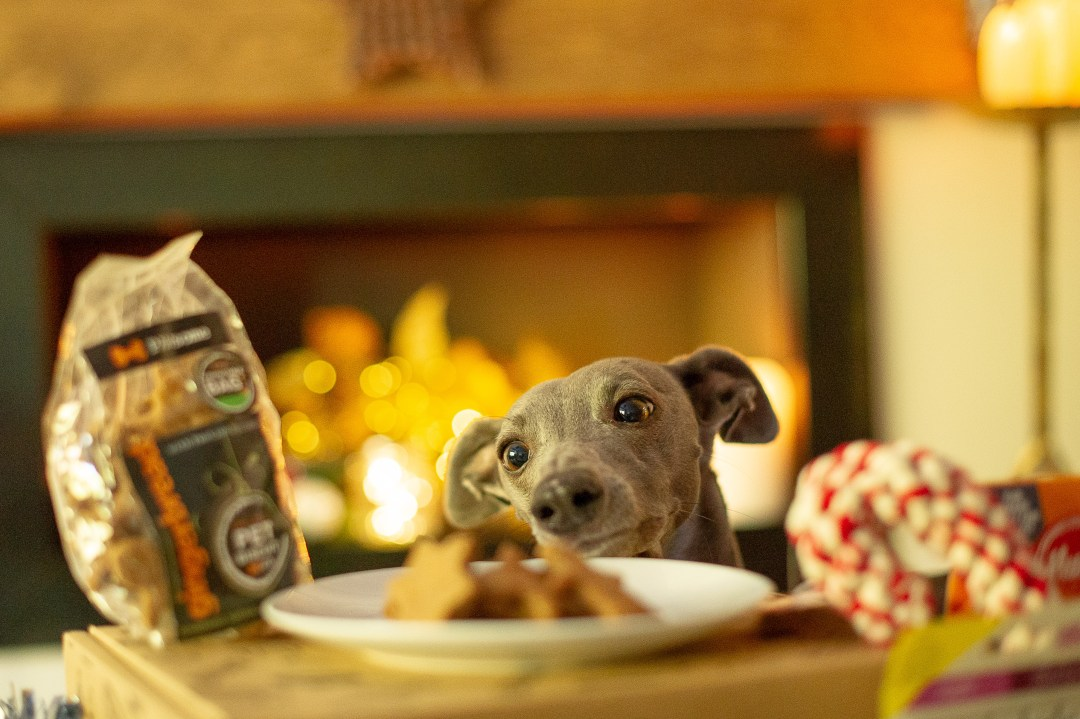 Blue whippet peering over a plate of dog biscuits